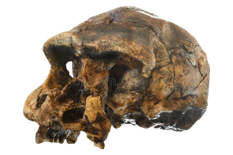 直立头骨倾斜视图 在1969年发现在Sangiran, Java,印度尼西亚 约会对1百万年前 免版税库存图片