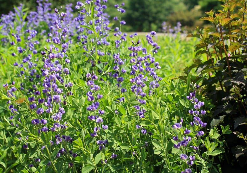 相当与小的瓣的紫色长的花 库存照片