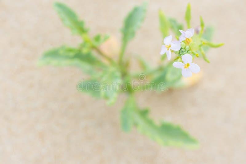 相当与生长在海滩的沙子的绿色叶子的小精美白花由海洋 纯净宁静平静 免版税库存照片