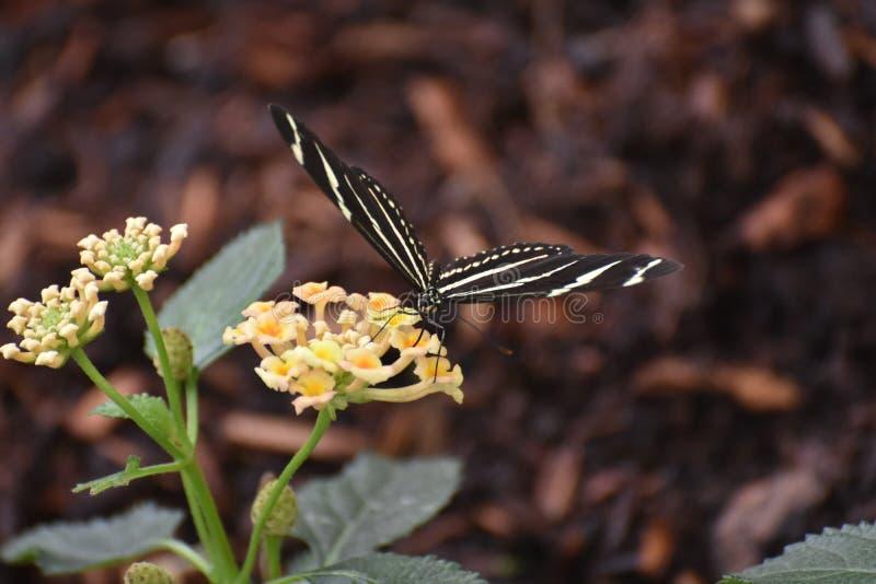 相当在雏菊的黑白斑马蝴蝶 库存照片