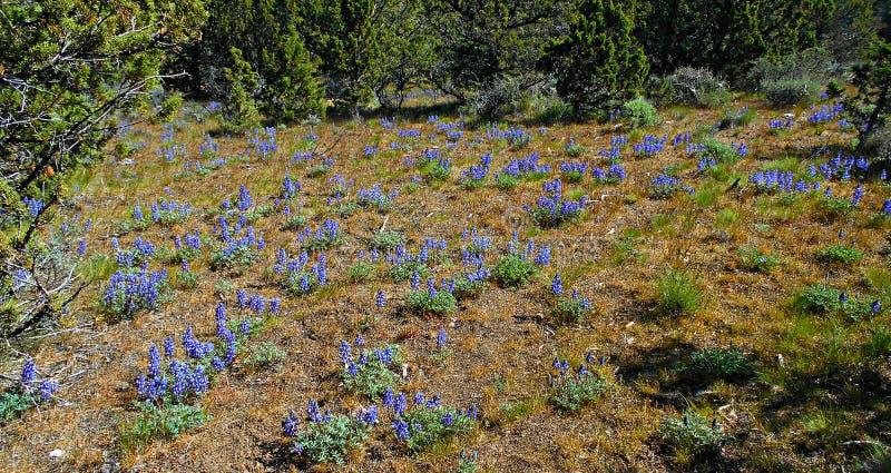 相当小的会开蓝色钟形花的草 免版税库存照片