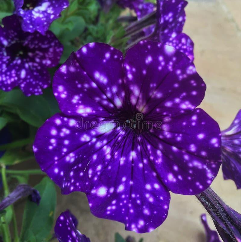相当紫色喇叭花 库存照片