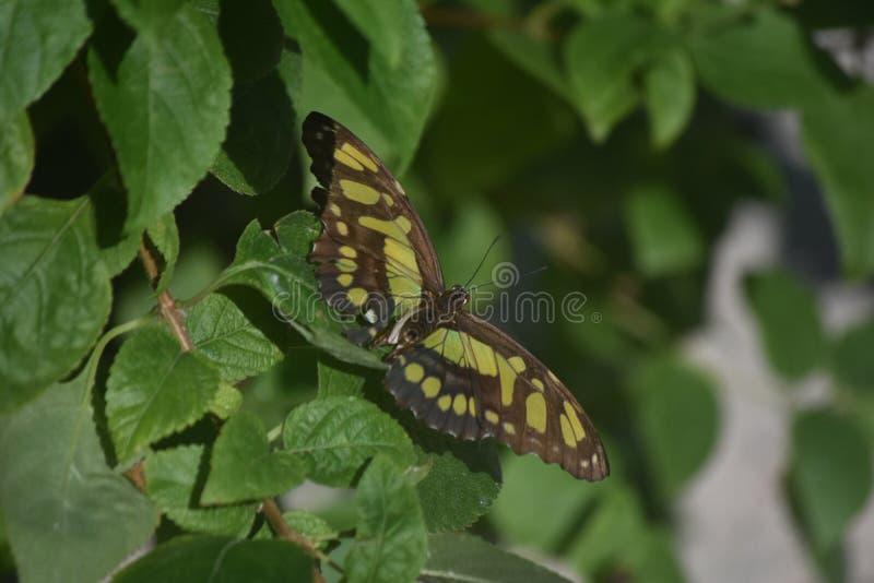 相当绿色和黑绿沸铜蝴蝶在庭院里 库存图片