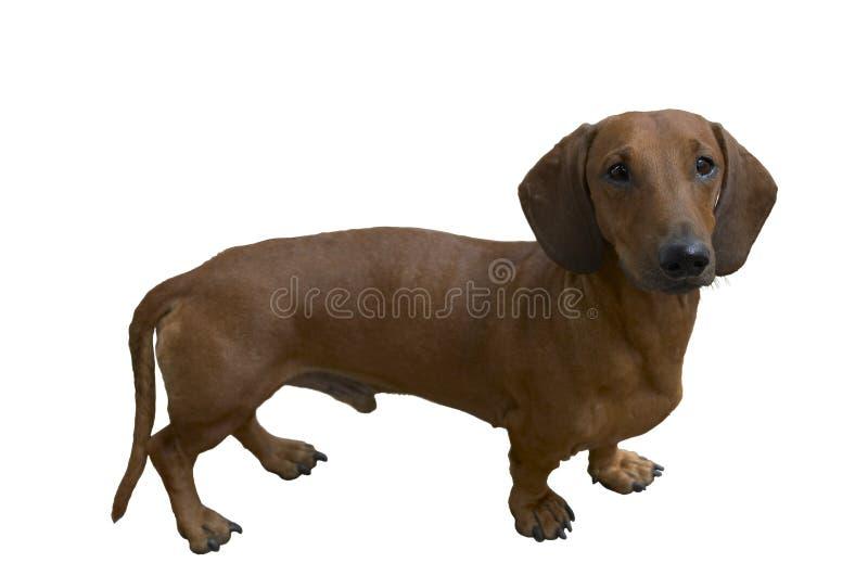 相当达克斯猎犬 免版税库存图片