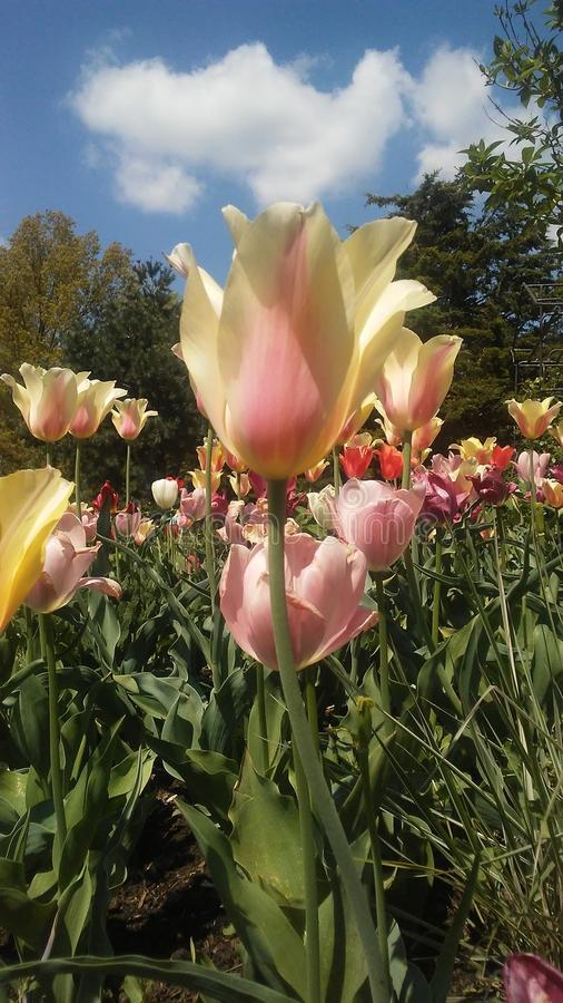 相当tulipan 免版税库存图片