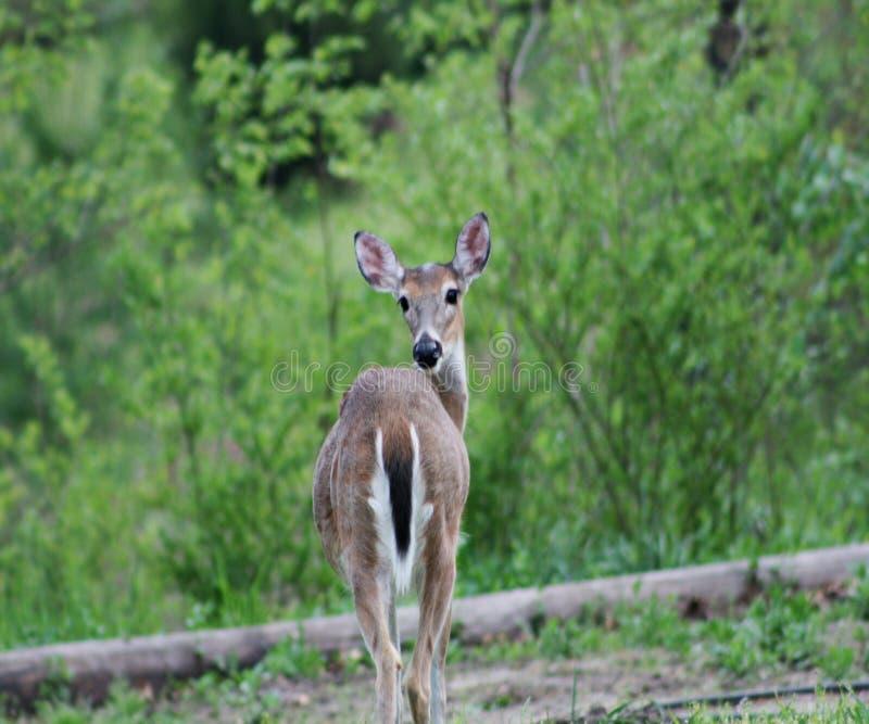 看一头野生的鹿站立和 免版税库存图片