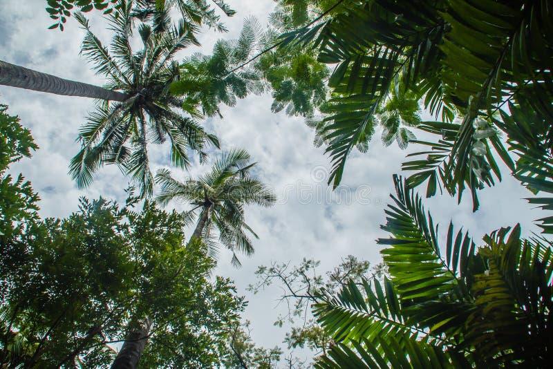 看一棵美丽的热带可可椰子树的看法有蓝色晴朗的天空背景 可可椰子树森林绿色叶子  图库摄影