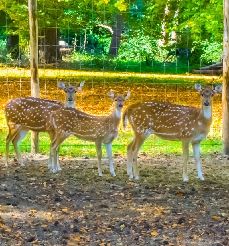看三头母被察觉的轴的鹿站立在沙子和非常感兴趣 免版税库存图片