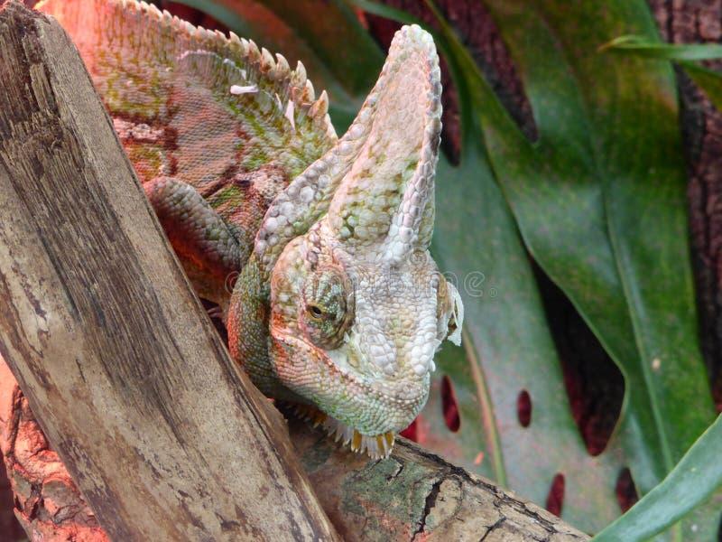 看世界的变色蜥蜴 库存图片