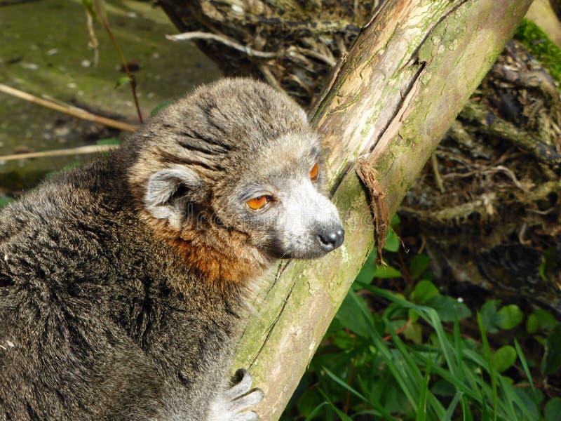 看世界的被加冠的狐猴 免版税库存照片