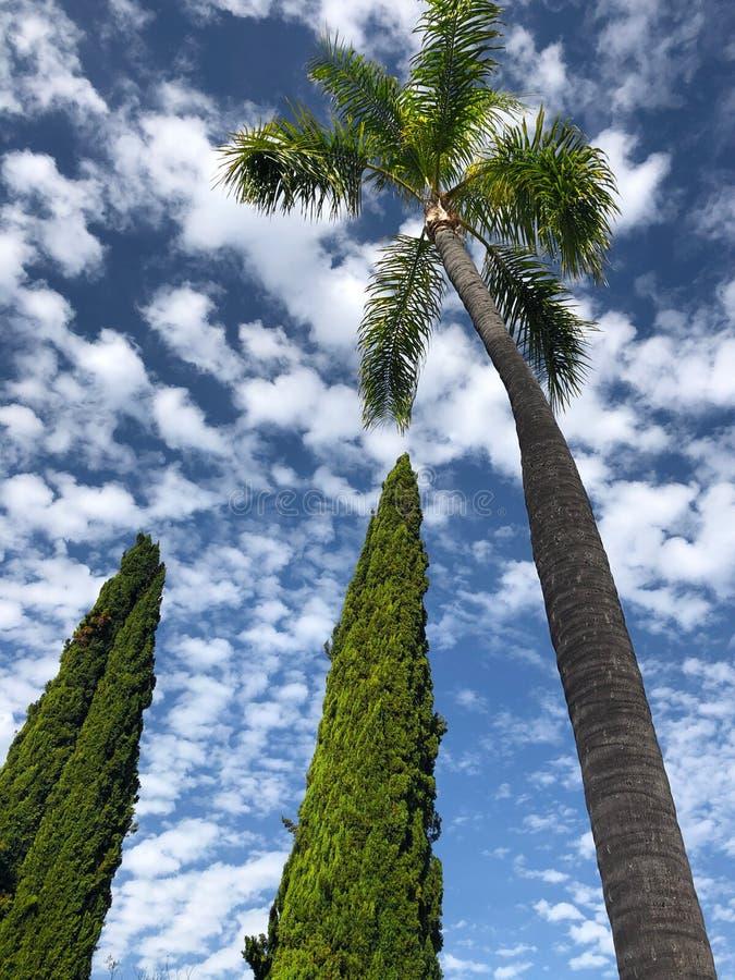 看两个柏树和一棵高棕榈树 免版税库存图片