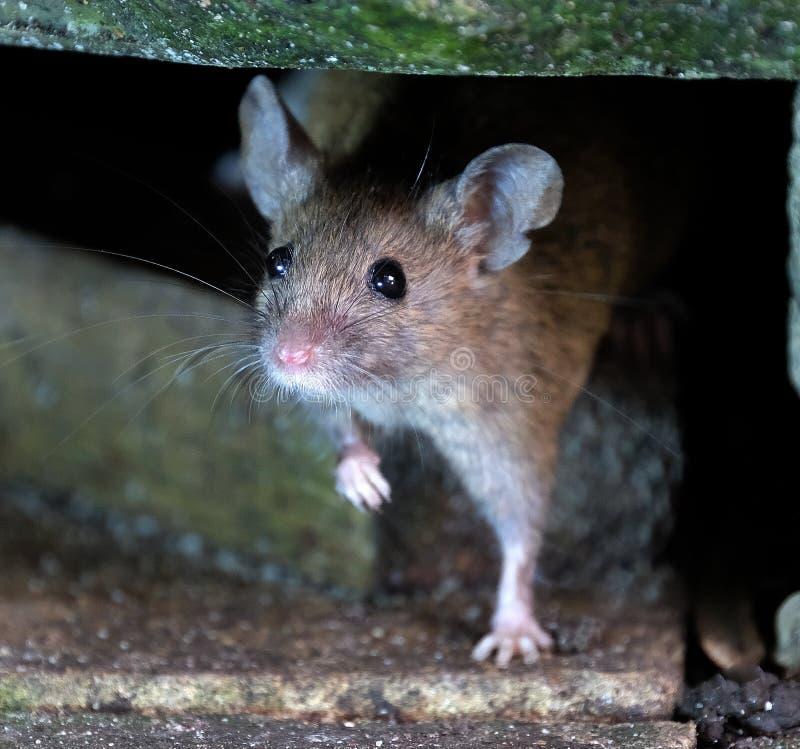 看从掩藏的老鼠 免版税库存图片