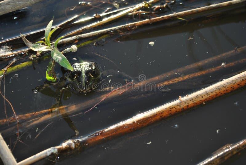 看从水的池蛙,关闭细节,与干燥芦苇的黑暗的水在它 库存照片
