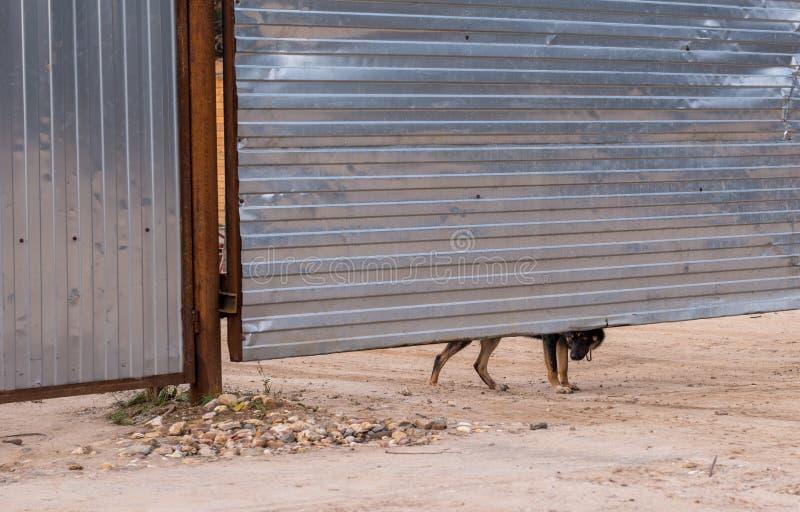 看从篱芭下面的护卫犬 免版税图库摄影