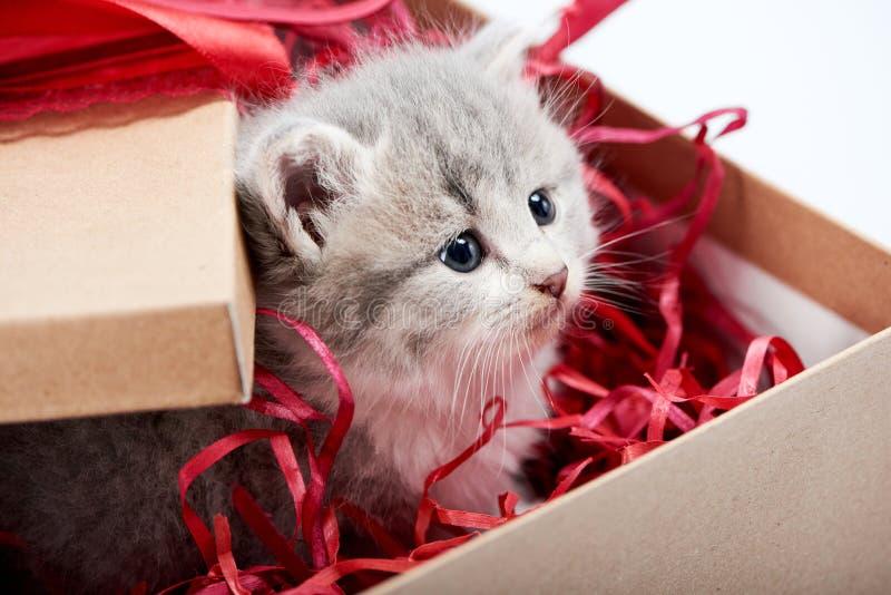 看从装饰的纸板生日箱子的小的好奇灰色蓬松小猫是逗人喜爱的存在为特殊场合 图库摄影