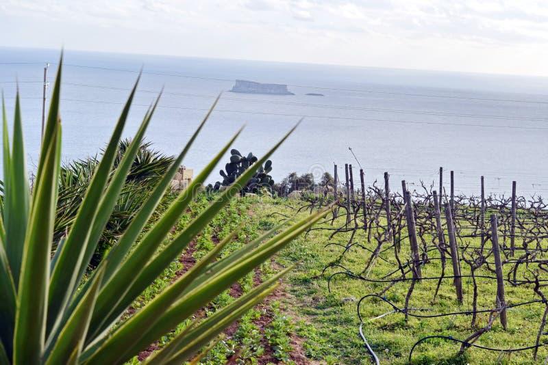 看从clifftop葡萄园的Fifla, Ghar Lhapsi,马耳他 图库摄影