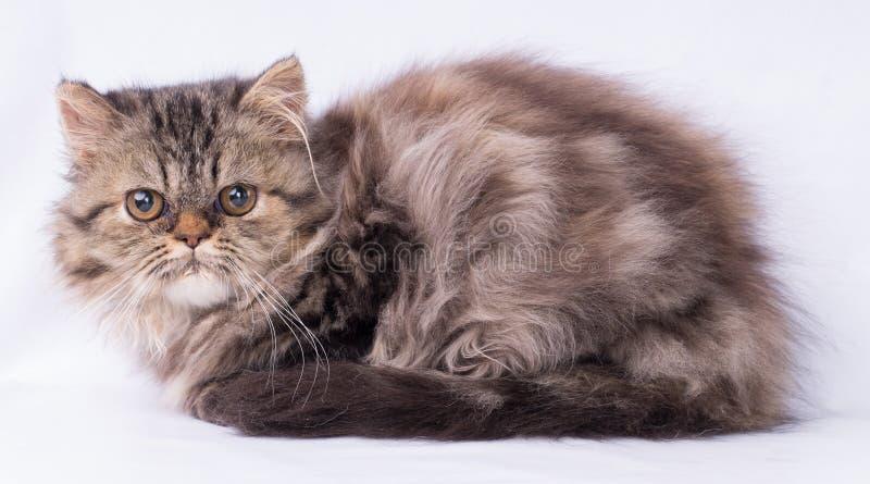 看充满恐惧的波斯大棕色猫在白色背景隔绝的照相机 库存图片