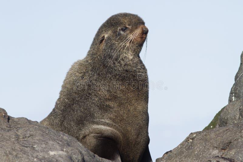 看北海狗的画象 免版税库存照片
