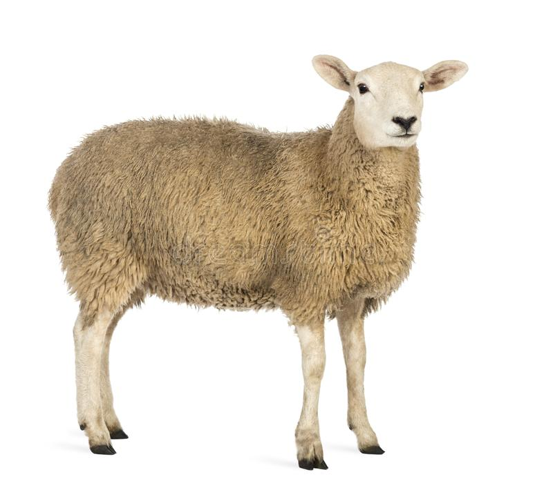 看反对白色背景的绵羊的侧视图 免版税图库摄影