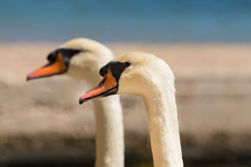 看同一个方向的两只天鹅画象 免版税图库摄影