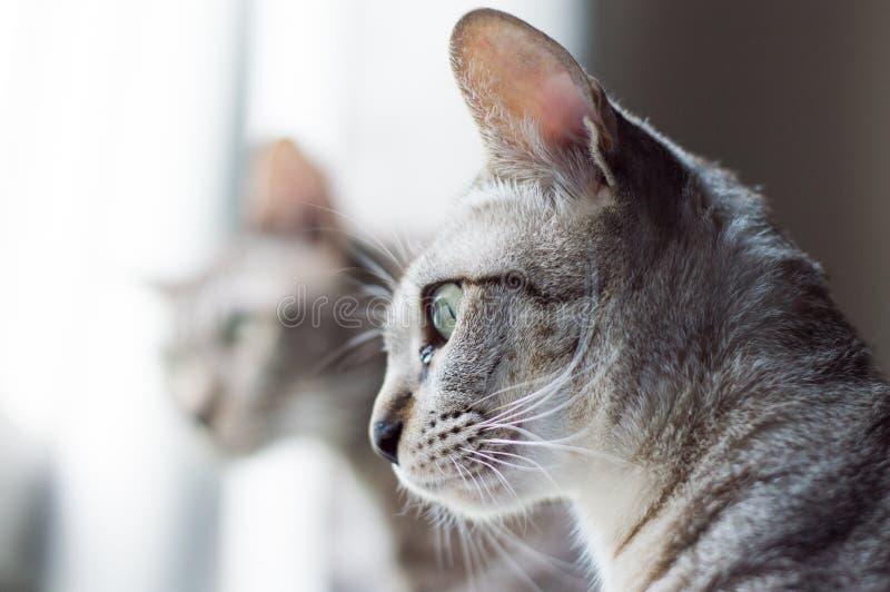 看在与感兴趣的面孔的窗口外面的灰色猫` s 免版税库存图片