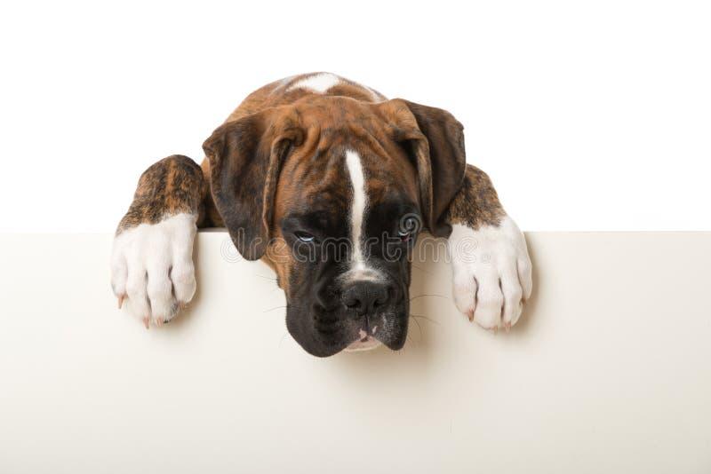 看在墙壁的拳击手小狗 库存照片