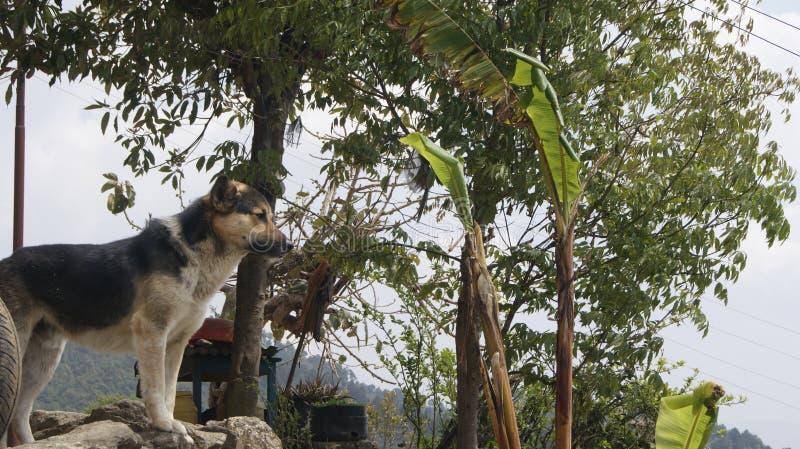 看在山的狗在尼泊尔 免版税库存照片