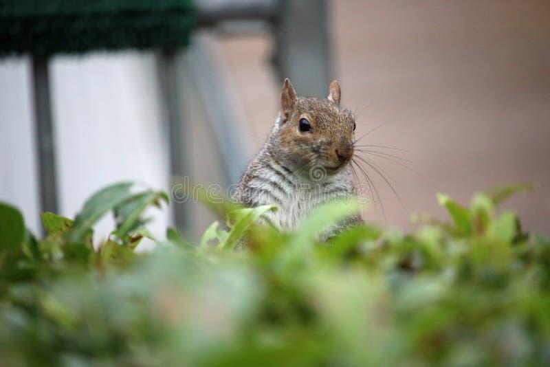 看在树篱的灰色灰鼠 免版税图库摄影