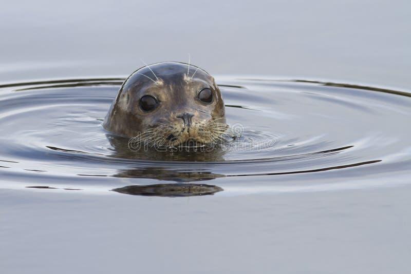 看在水外面的斑海豹头在t的岸附近 库存照片