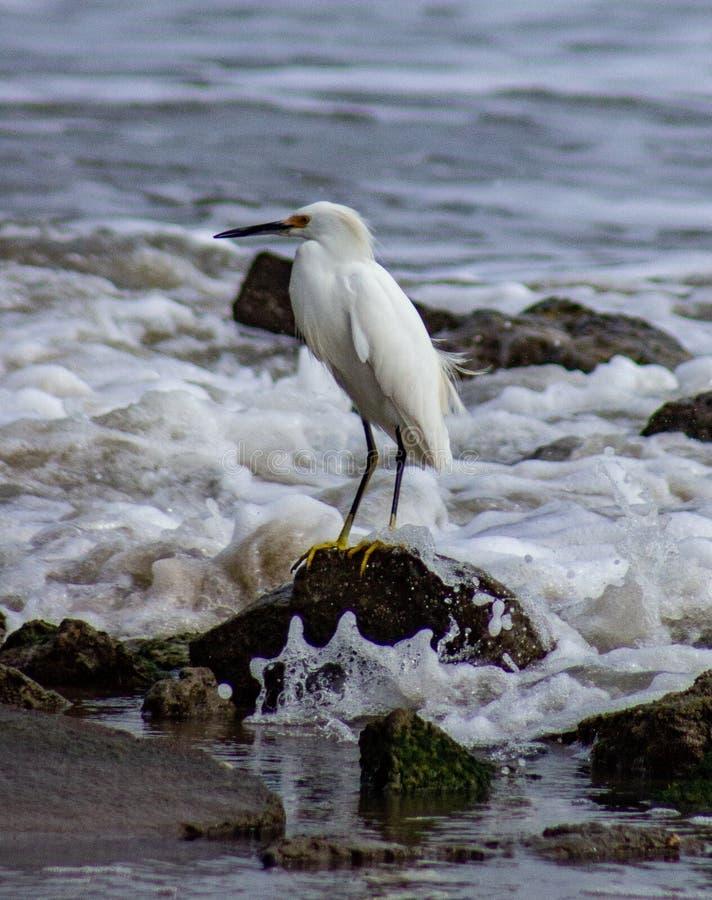 看在海浪的白色苍鹭 免版税库存照片