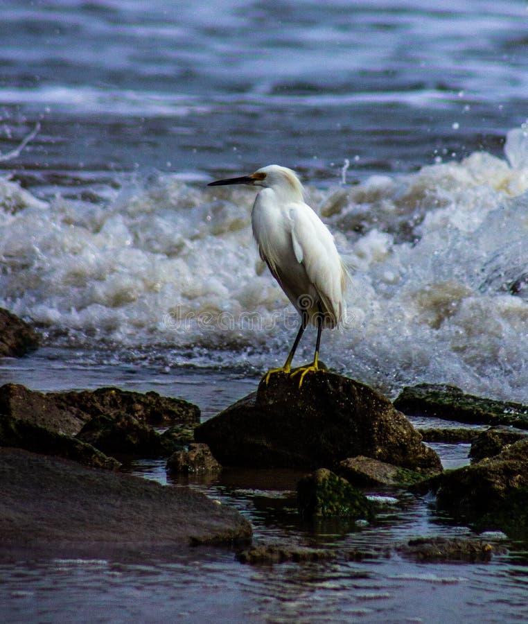 看在海浪的白色苍鹭 免版税库存图片