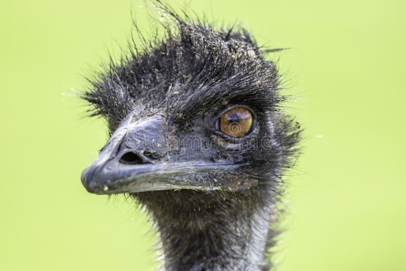 看在照相机的鸸驼鸟接近的画象 免版税库存图片