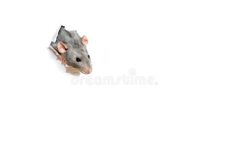 看在白皮书的孔外面的逗人喜爱的滑稽的鼠 宠物-手公羊dambo 免版税库存照片