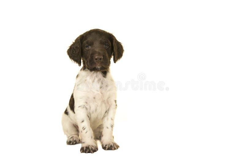 看在白色背景的坐的小munsterlander小狗照相机 免版税库存图片