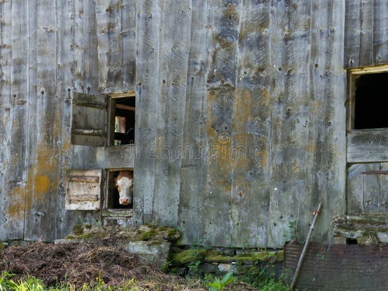 看在窗口外面的母牛 免版税图库摄影
