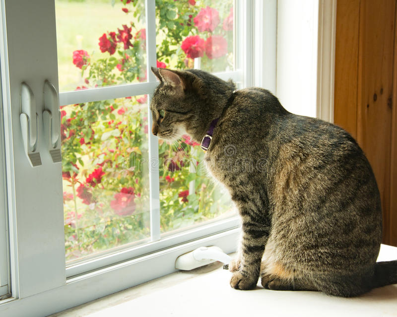 看在窗口外面的虎斑猫 库存图片