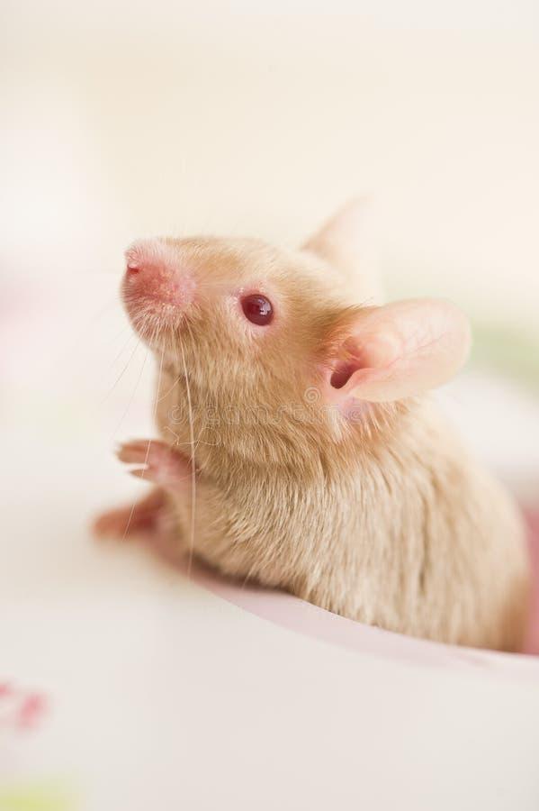 看在窗口外面的逗人喜爱的老鼠鼠啮齿目动物 图库摄影