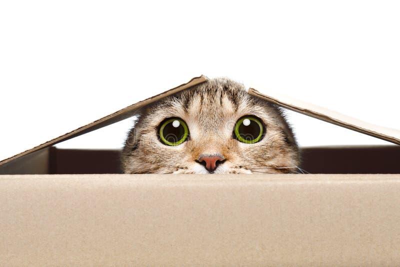 看在箱子外面的一只滑稽的猫的画象 免版税库存照片