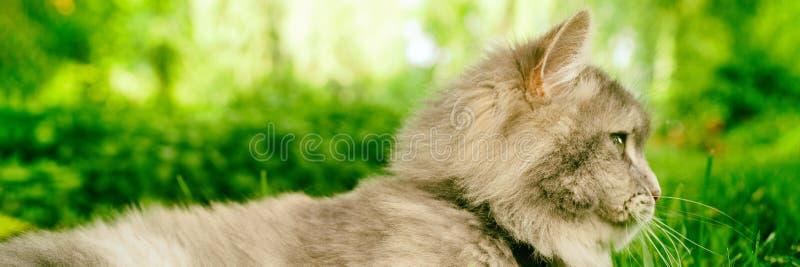 看在绿草公园夏天的灰色猫外形画象横幅全景 库存照片