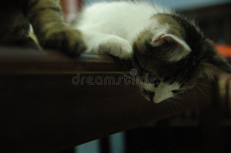 看在蓬松宠物下的猫注视得好奇地 免版税库存照片