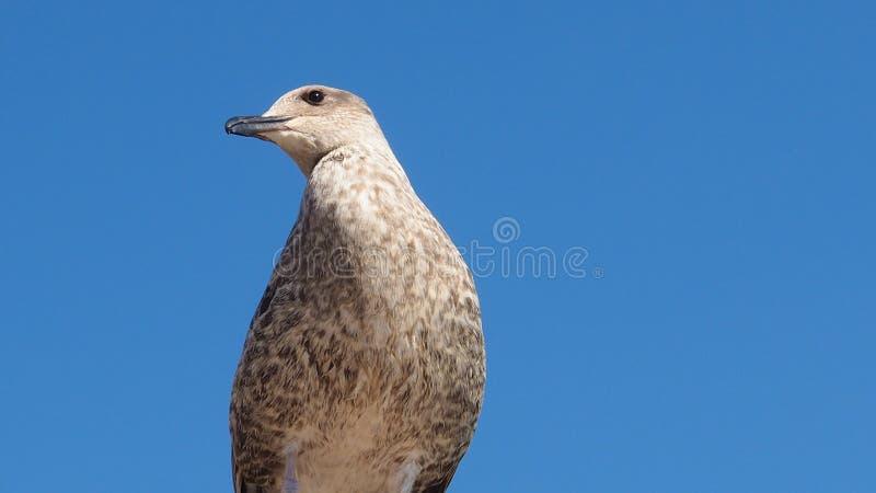 看在里斯本葡萄牙的一只逗人喜爱的海鸥 免版税库存图片