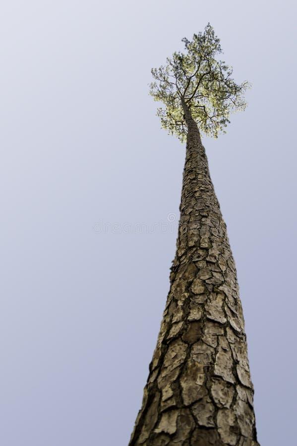 看在高杉树 免版税库存照片