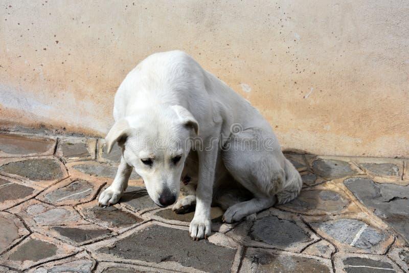 看大白色的流浪狗急切地乞求为食物 库存照片