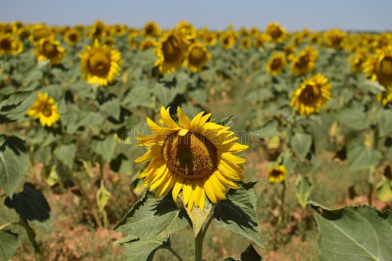 看太阳用后边许多向日葵的向日葵的画象 自然,植物,食品成分,风景 免版税库存照片