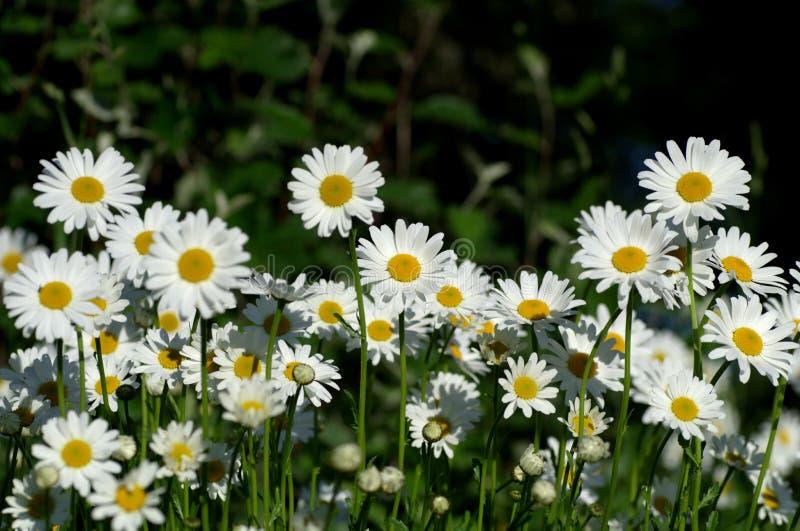 看太阳的丰足雏菊 免版税库存照片