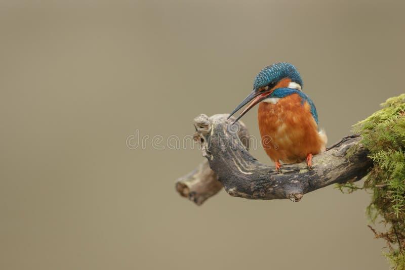 看女性共同的翠鸟c alling和下来 库存图片