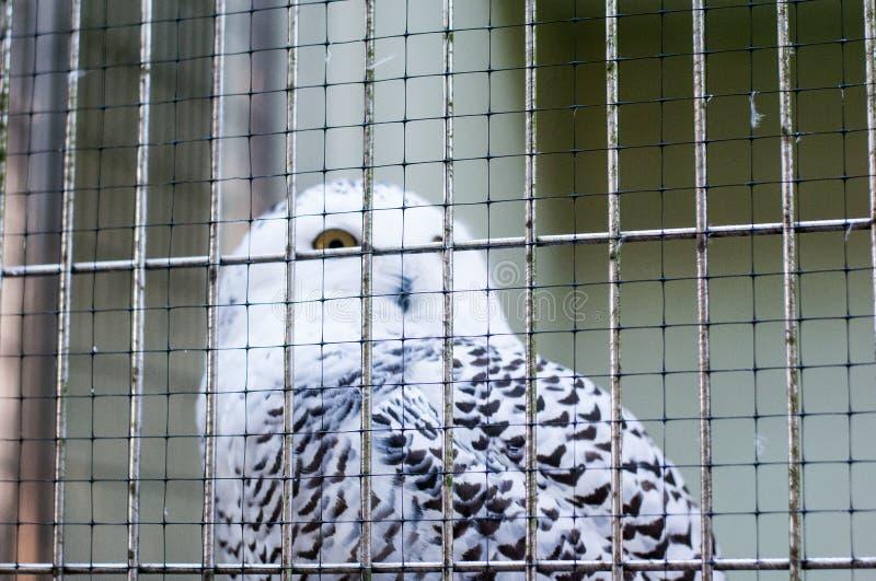 看对与一只大黄色眼睛的照相机的白色猫头鹰通过钢笼子在动物园里 免版税库存图片