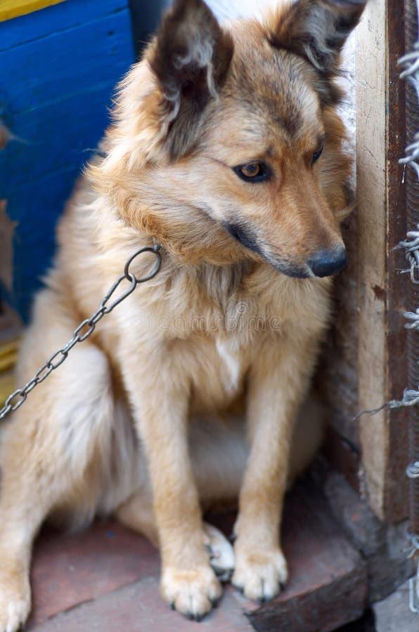 看对与愉快的面孔的照相机的一条大狗的画象 免版税库存照片