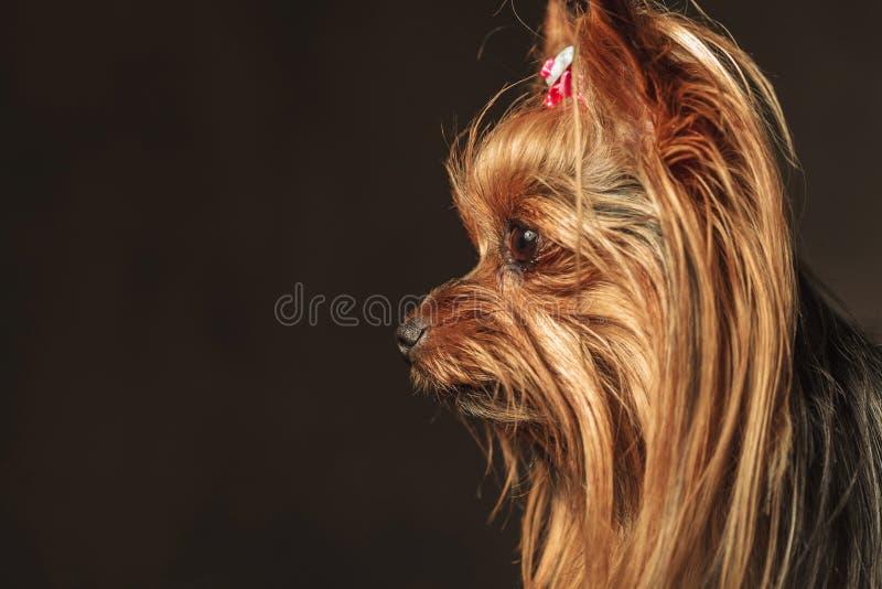 看对某事的一只可爱的yorkie小狗的侧视图 免版税库存图片