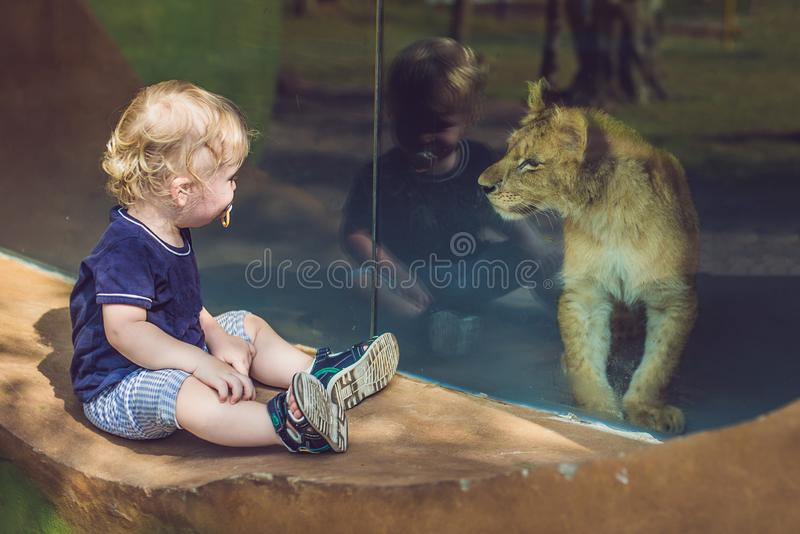 看小的狮子的小男孩通过玻璃在动物园里 免版税库存图片